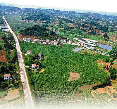 安岳 中国柠檬之都 的崛起 -四川频道图片