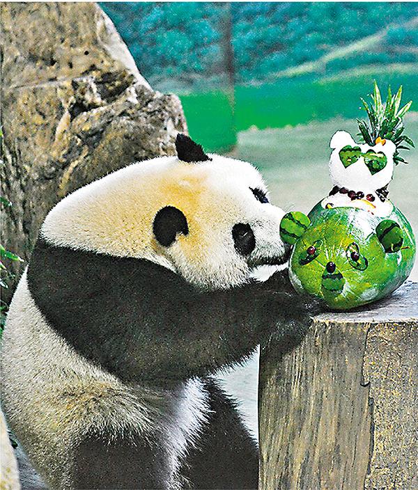 西瓜子熊猫粘贴画-网络直播大熊猫圆仔庆生