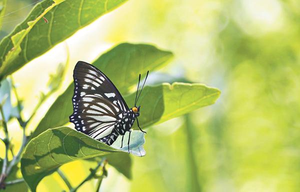 ■芒蛺蝶。 受訪者供圖