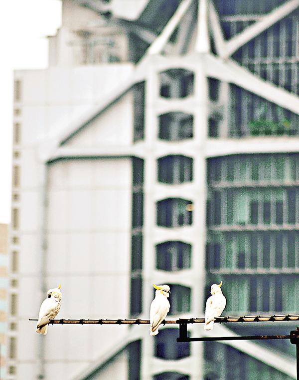 ■「極危」的小葵花鳳頭鸚鵡在香港棲居。 港大網頁照片,Timothy Bonebrake提供