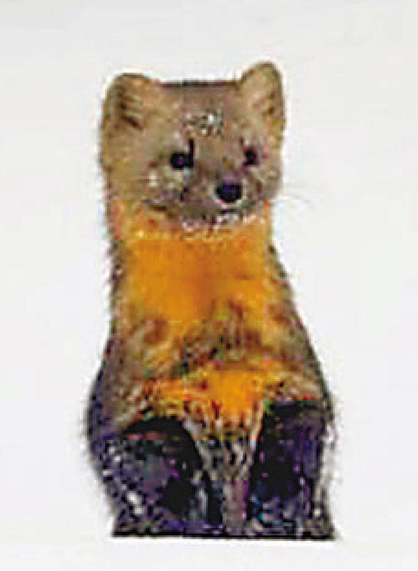 ■吉林公園內發現的紫貂。 網上圖片