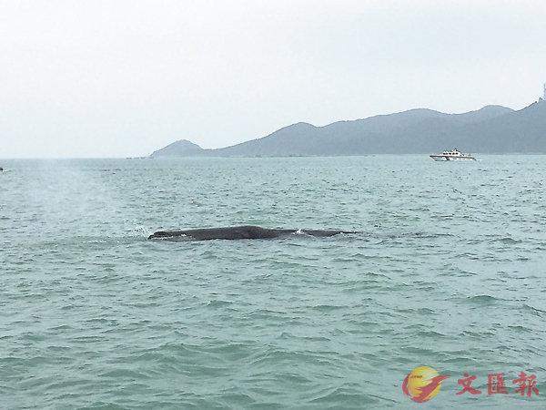 ■抹香鯨在噴水換氣。記者郭若溪 攝