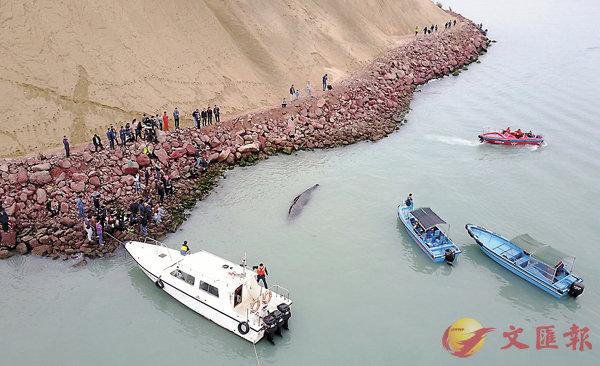 ■專家對受困於深圳海域的抹香鯨多次施救均告失敗。  中新社