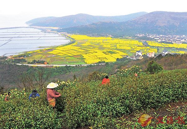 ■蘇州碧螺春茶下周一將小量開採。  受訪者供圖