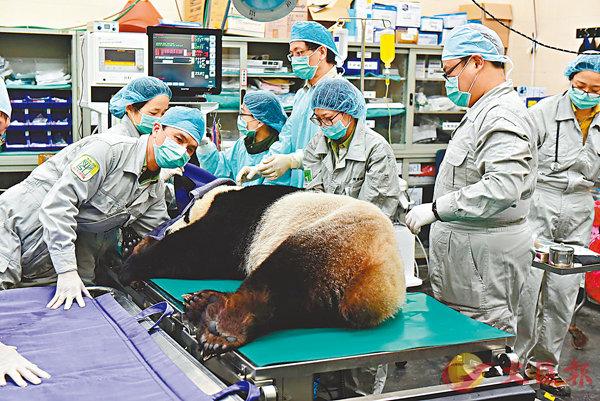 ■台北市動物園對雌性大熊貓「圓圓」進行人工授精。   中央社