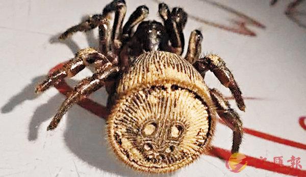 ■金錢活門蛛因尾部圖紋似銅錢而得名。 網上圖片