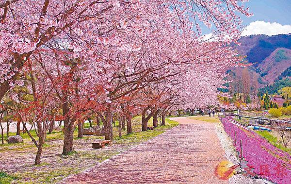 ■淡粉紅色的浪漫景致令人神往,除用雙眼欣賞外,當然也要把它拍攝下來。 網上圖片