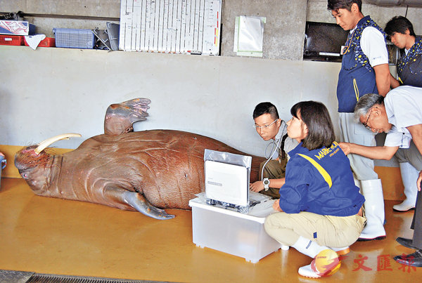 ■影像解剖技術可用於不同種類的海洋生物。圖為檢查時的情況。 受訪者供圖