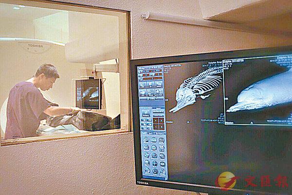 ■葛展榮利用影像解剖檢查海洋生物屍體的骨骼狀況。 受訪者供圖