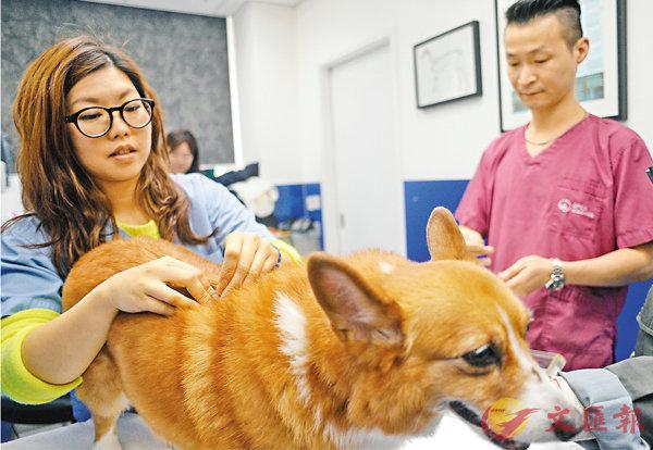 ■動物針灸可廣泛用於治療肌肉骨骼毛病、尿道毛病、呼吸管道毛病、心血管系統的毛病等。 梁祖彝 攝