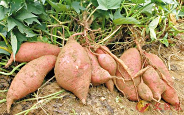 ■地瓜營養價值高,可通便秘。網上圖片