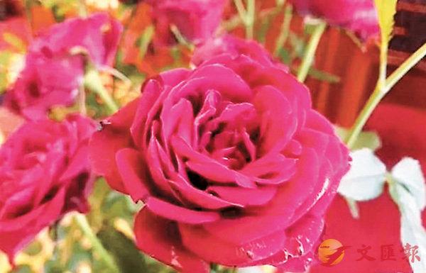 ■「昂山素姬玫瑰」   網上圖片