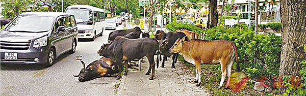 ■黃牛受傷倒�楣邪纁ョA逾10隻同伴在旁依偎相伴,不忍離開。