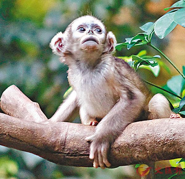 ■猴寶寶已能攀爬跳躍。香港文匯報記者梁祖彝 攝