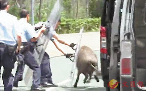 野豬橫行單車徑  撞傷兩人終被擒 (圖)