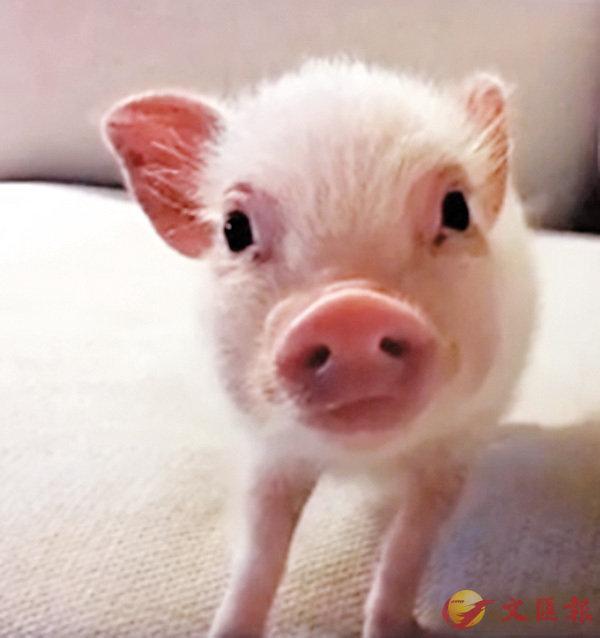 ■寵物豬 。網上圖片