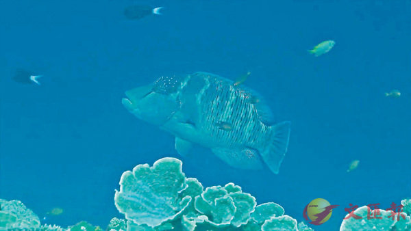 ■鄭明修表示,在太平島1個半月就看到5尾龍王鯛最讓他驚喜。 視頻截圖