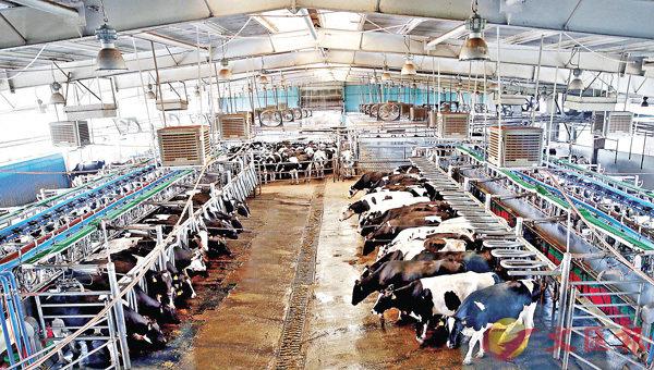 ■圖為伊利集團敕勒川精品奶源基地飼養的奶牛。新華社