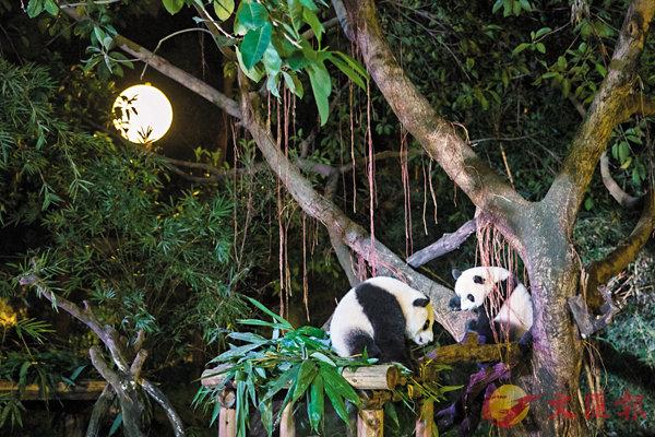 ■以晚間活動的熊貓寶寶作賣點,夜宿熊貓館吸人氣。  香港文匯報記者胡若璋 攝