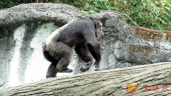 ■黑猩猩「莎莉」。中央社