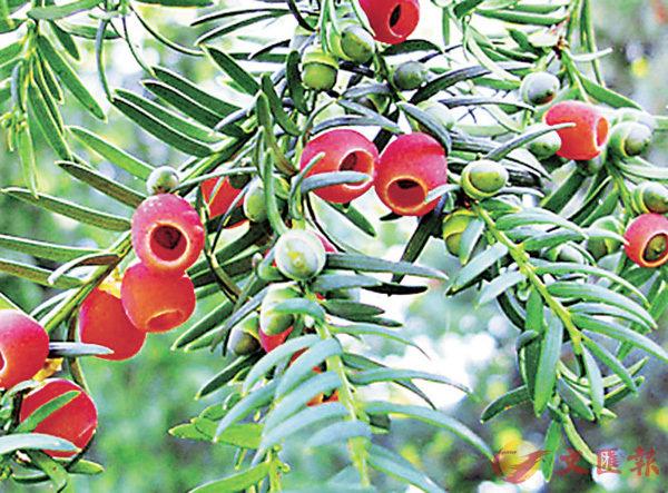 ■紅豆杉是一種植物。 網上圖片