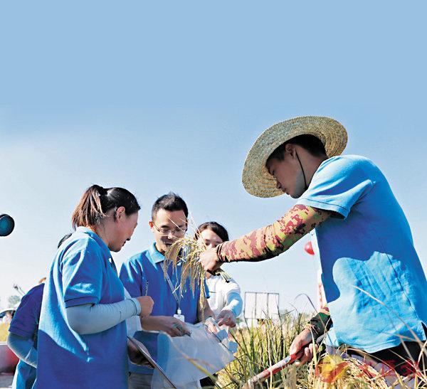 袁隆平試種海水稻測產超預期(圖)