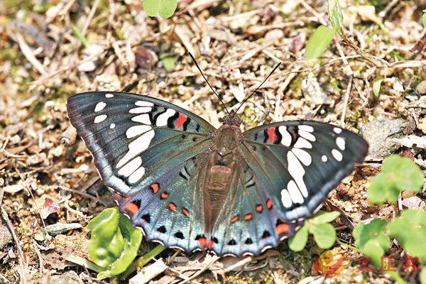 ■紅斑翠蛺蝶。綠色力量圖片
