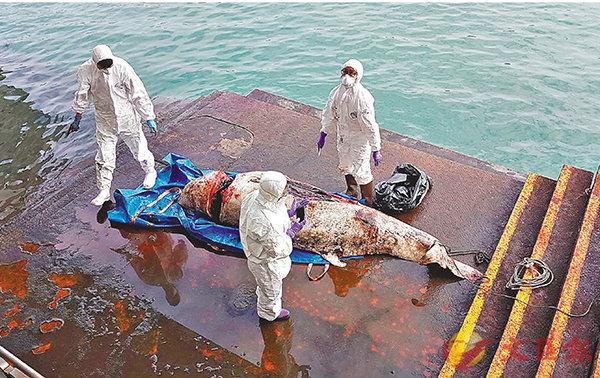 ■小抹香鯨遺骸嚴重腐爛。