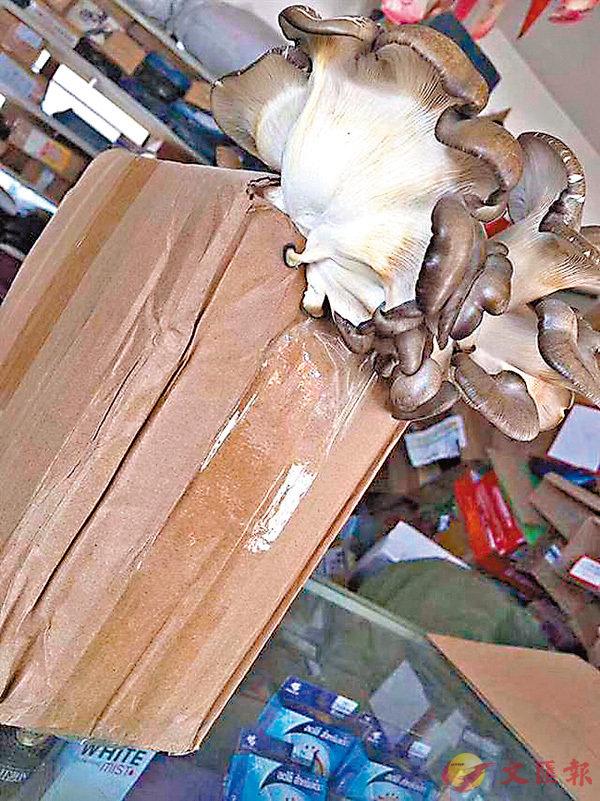 ■紙皮箱長出新鮮菇類。 網上圖片