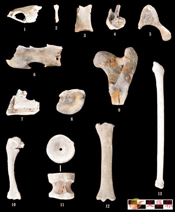 ■「南海一號」部分動物骨骼遺存。  網上圖片