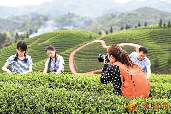 ■知青時代有�蚇W特而又平凡的美,圖為貴州鳳岡知青茶山組織採茶女身穿海魂衫知青裝扮表演採茶。 中新社 圖