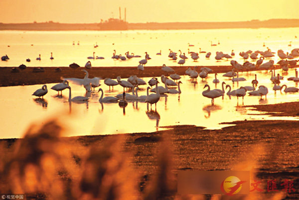 ■ 榮成市建立大天鵝保護區後,吸引越來越多大天鵝到該地過冬。 網上圖片