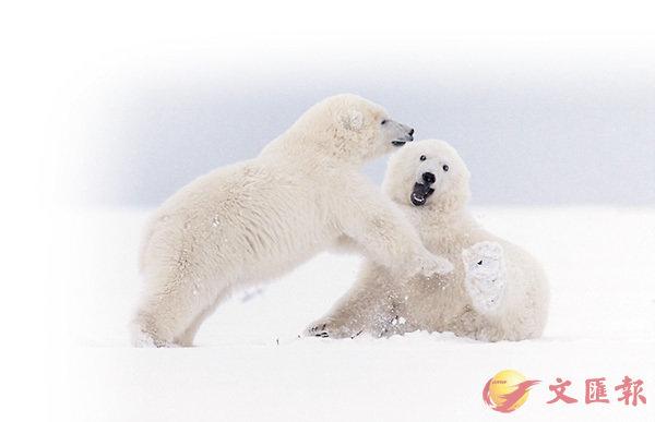 ■為模仿北極熊毛結構,課題組研發出了冷凍紡絲技術。圖為北極熊。 網上圖片