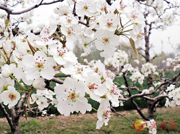 ■梨花盛放燦爛迷人。  網上圖片