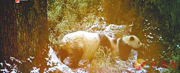 ■ 四川臥龍自然保護區近日首次採集到野生大熊貓媽媽帶寶寶遊玩的影像資料。視頻截圖