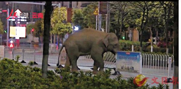 ■一頭野生亞洲象7日晚闖入雲南普洱市思茅區,未造成人員傷亡。圖為該野生象損壞圍欄橫穿馬路。 視頻截圖