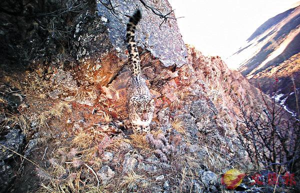 ■雪豹在三個月內被拍攝到56次影像。