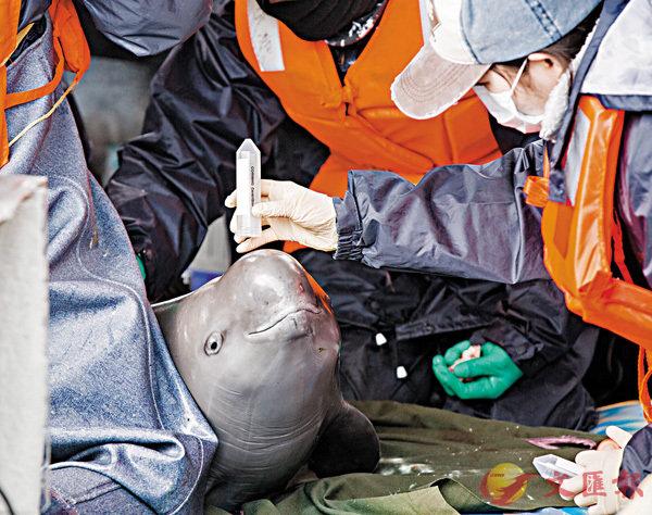 ■長江江豚「升格」為獨立物種。圖為中科院水生生物研究所工作人員早前對江豚進行體檢。 資料圖片