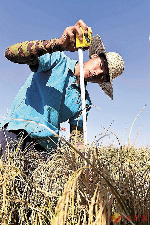 ■海水稻研發成功,令鹽鹼地有機會成為農田。 資料圖片