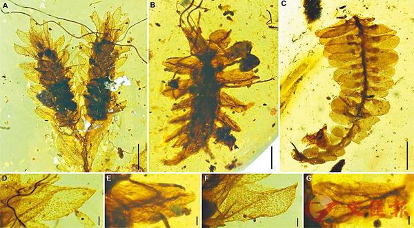 ■ 新發現偽裝成苔蘚植物的一億年前昆蟲幼蟲。 網上圖片