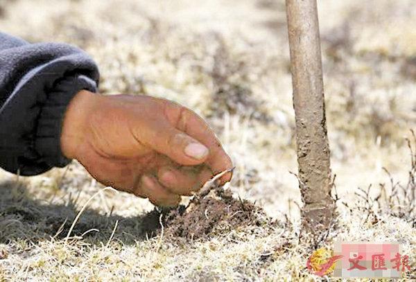 ■ 冬蟲夏草進入採挖季,掀起嚐鮮風。 網上圖片