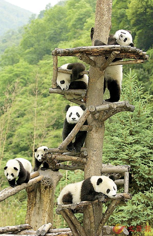■熊貓幼仔攀爬樹杈。   香港文匯報四川傳真