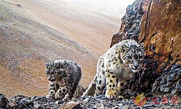 ■ 紅外線相機拍攝到的雪豹資料畫面。 中央社