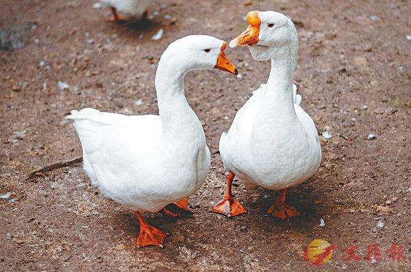 ■不是每個複數名詞後都加-s,如Goose的複數便是Geese。 網上圖片