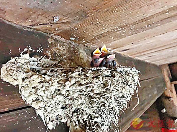 ■嗷嗷待哺的四隻雛燕。  網上圖片