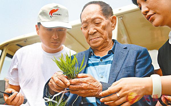 ■袁隆平與研究團隊進行海水稻研究。受訪者供圖