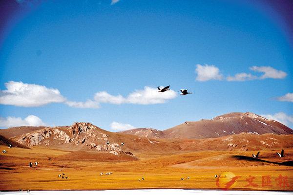 ■青海省是中國斑頭雁分佈範圍最廣、數量最多的地區之一,是斑頭雁的重要繁殖地區。圖為斑頭雁在班德湖周圍飛行。 中新社