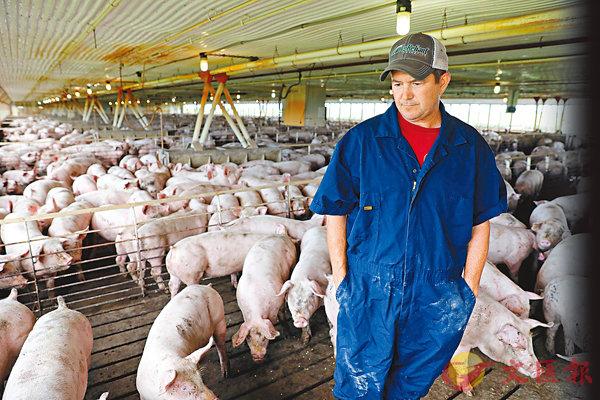■美國發動貿易戰,中方被迫反擊,其中包括對美國豬肉加徵關稅。圖為美國豬農。 路透社