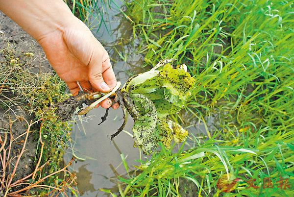 ■雨水太多會令農作物被淹沒,甚至泡爛。 資料圖片