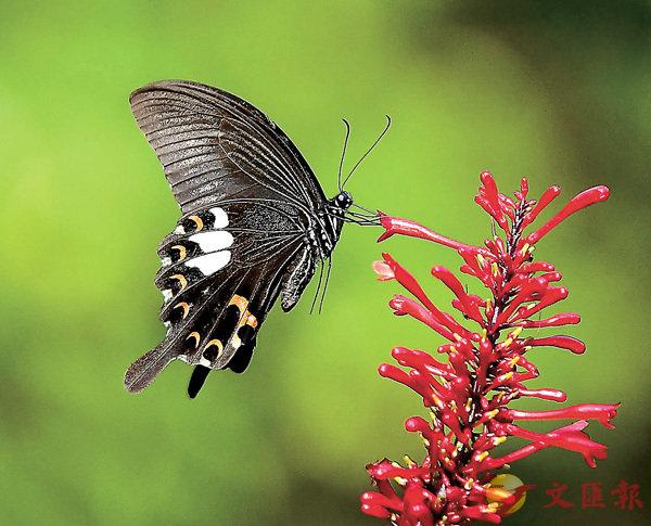 ■莊周曾夢見自己化為蝴蝶,說明萬物無不可化 。 資料圖片